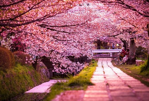 Hoa anh đào - biểu tượng của đất nước Nhật Bản