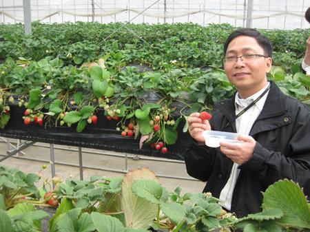 Trồng dâu tây ở Nhật Bản