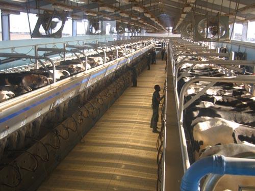 12 nữ chế biến sữa bò tại Hyogo tháng 8/2014