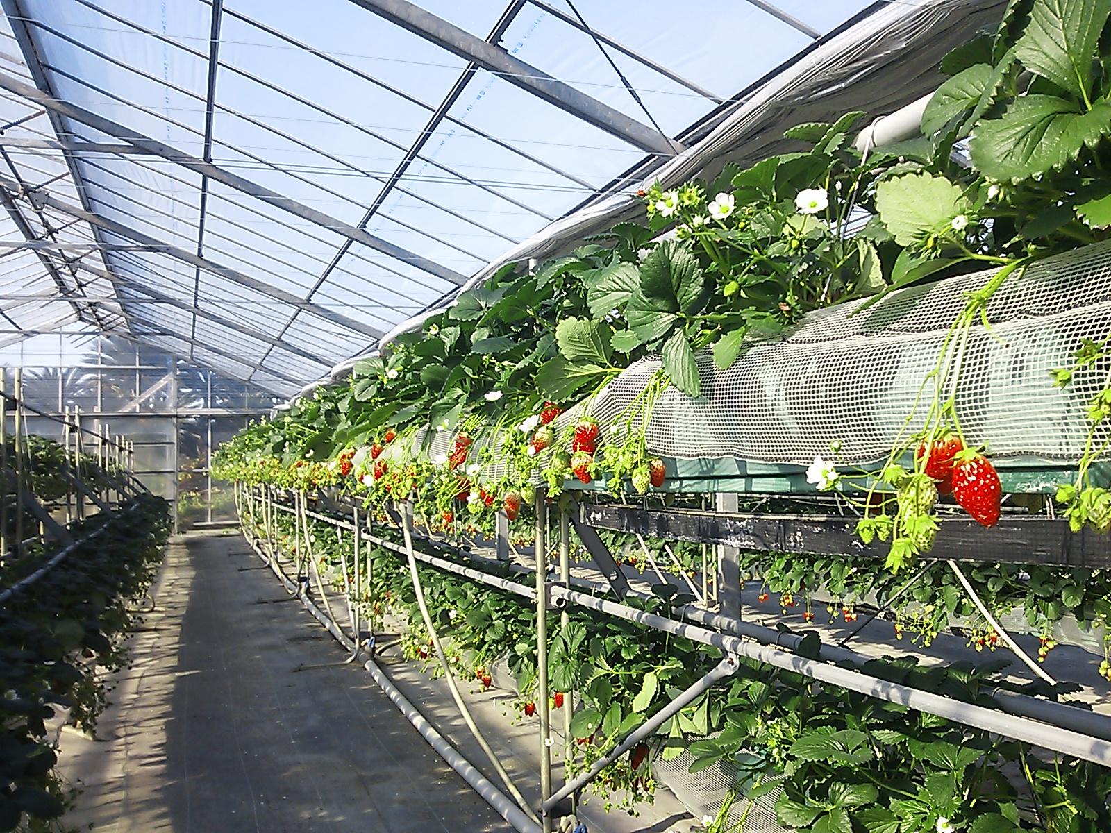 9 Nữ trồng dây tây, rau màu tại Chiba 12/2014