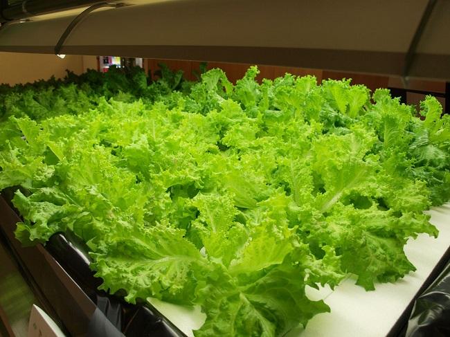 Tuyển 18 Nữ là trồng rau màu tại Fukushima được hỗ trợ phí