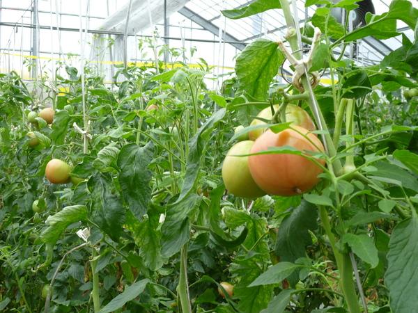 Tuyển 60 Nữ trồng cà chua, rau màu tại Kumamoto được hỗ trợ phí