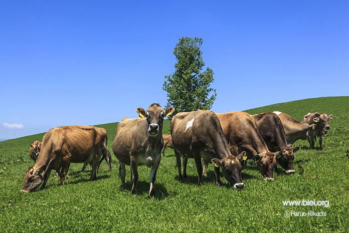 8 Nam làm trang trại bò sữa tại Hokkaido tháng 5/2015