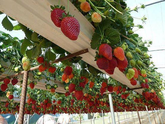 Tuyển 9 nữ trồng dâu tây nhà kính tại Tochigi tháng 5/2017
