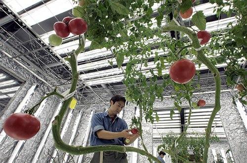 Tuyển 8 nam làm nông nghiệp tại Shizuoka - Nhật Bản tháng 09/2015