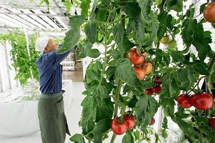 Tuyển 20 Nam/Nữ làm trồng cà chua tại Hokkaido đơn hàng 1 năm