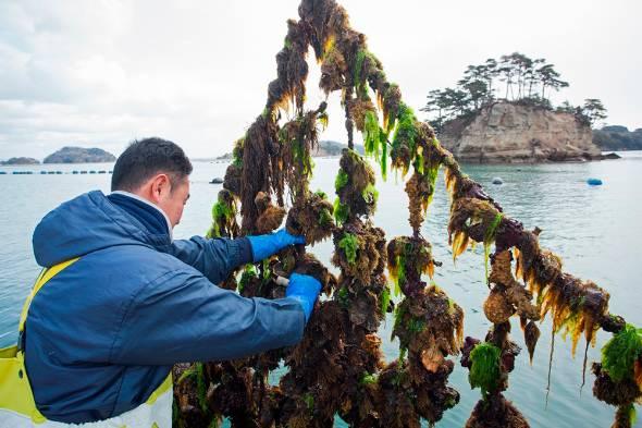 Tuyển gấp lao động làm nuôi trồng sò điệp tại Nhật Bản xuất cảnh nhanh