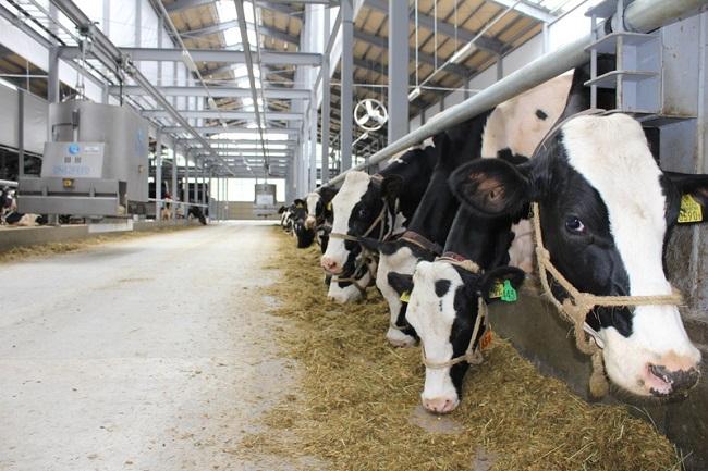 Đơn hàng XKLĐ làm chăn nuôi bò sữa tại Nhật Bản tháng 12/2016