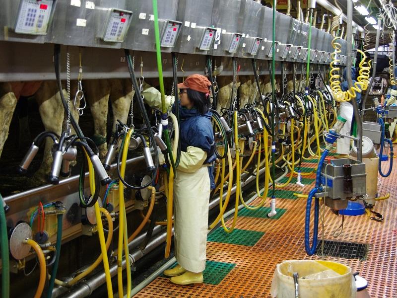 90 Nam/Nữ XKLĐ làm chăn nuôi bò sữa tại Nhật Bản tháng 09/2017