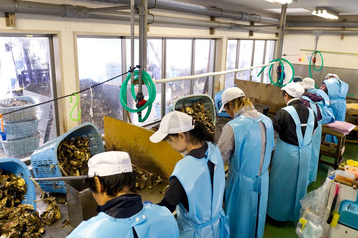Tuyển gấp 17 Nam XKLĐ Nhật Bản làm chế biến Hàu tại Hiroshima