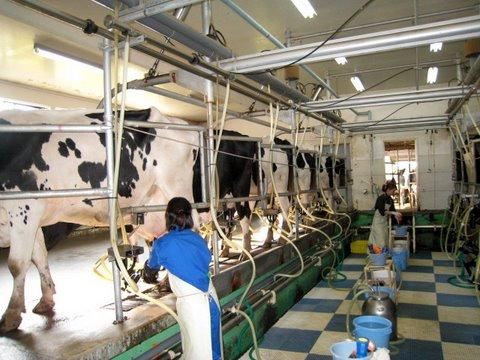 Tuyển gấp 10 nữ chăn nuôi bò sữa tại Hokkaido tháng 03/2017