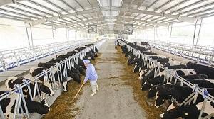 Tuyển gấp 18 nữ chăn nuôi bò sữa tại ChiBa Nhật Bản tháng 03/2017