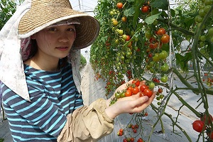 Tuyển gấp 15 nữ làm nông nghiệp trồng cà chua tại Kumamoto tháng 03/2017