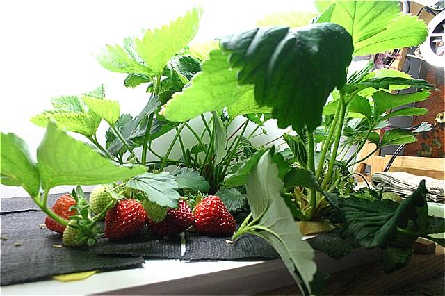 Tuyển 15 lao động nam làm nông nghiệp tại Chiba, Nhật Bản