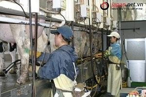 Công việc của thực tập sinh ngành nông nghiệp chăn nuôi tại Nhật Bản như thế nào?