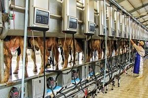 Đã mắt với công nghệ chăn nuôi bò sữa tại Nhật Bản