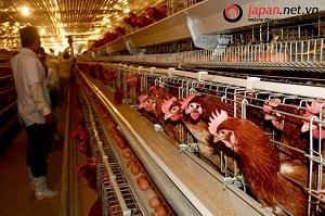 Đã mắt ngành nông nghiệp chăn nuôi gà siêu sạch tại Hokkaido Nhật Bản