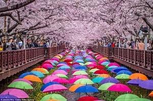 Học tiếng Nhật qua bài hát Sakura no hanabiratachi – Những cánh anh đào