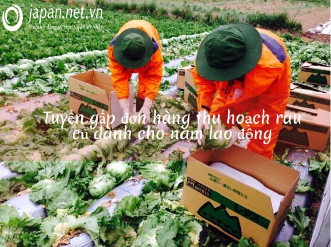 Tuyển 6 lao động nam làm nông nghiệp tại Tochigi, Nhật Bản