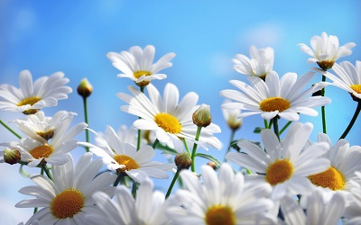 Hoa anh đào hay hoa cúc mới là quốc hoa của Nhật Bản?