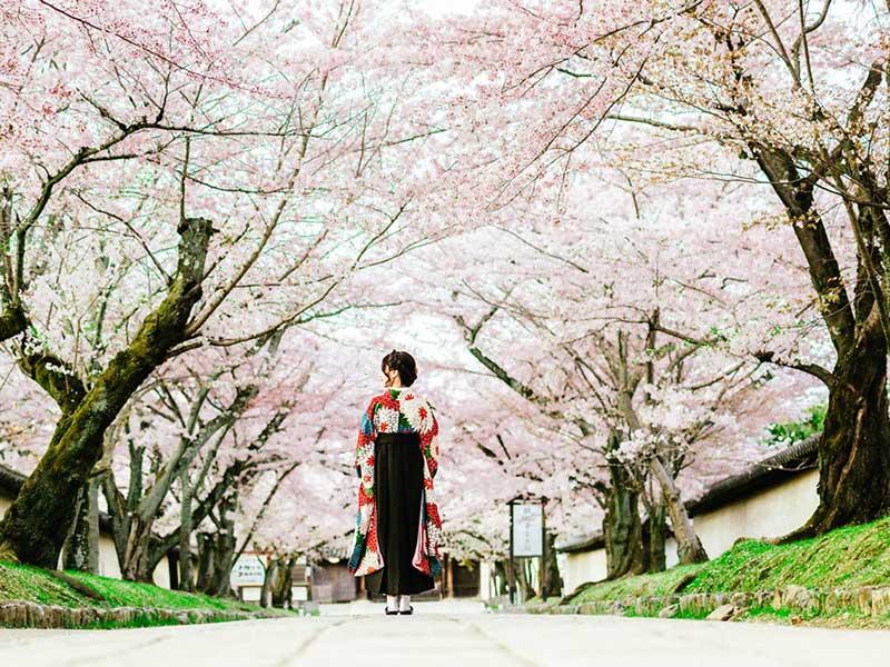 Hoa anh đào Nhật Bản nở là mùa nào trong năm?