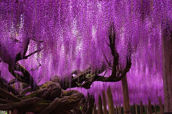 mùa hoa từ đằng ở Nhật Bản