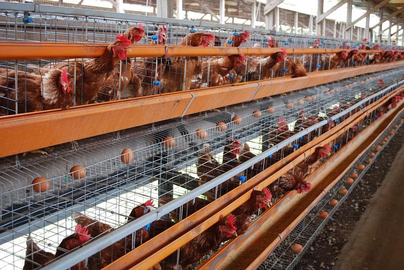 10 nữ làm trang trại gà tại Hokkaido tháng 7/2014 (Gấp)