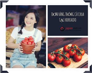 Tuyển 20 Nữ đơn hàng trồng cà chua tại Hokkaido đơn hàng 1 năm
