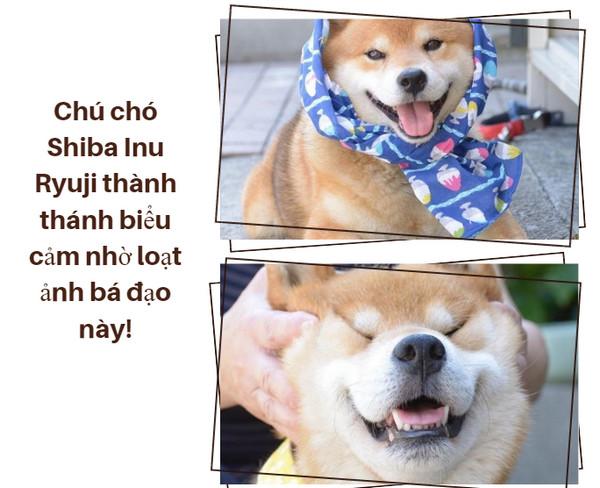 Chú chó Shiba Inu Ryuji thành thánh biểu cảm nhờ loạt ảnh bá đạo này!
