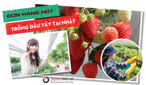 [Tuyển Gấp] Đơn hàng XKLĐ làm trồng dâu tây tại Ibaraki Nhật Bản