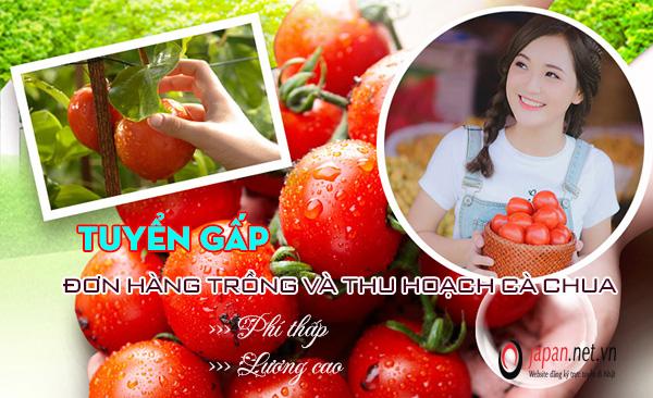 XKLĐ Nhật tháng 03/2021: đơn hàng trồng cà chua tại Tokushima lương cao