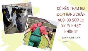 Có nên tham gia đơn hàng chăn nuôi bò sữa đi XKLĐ Nhật không?