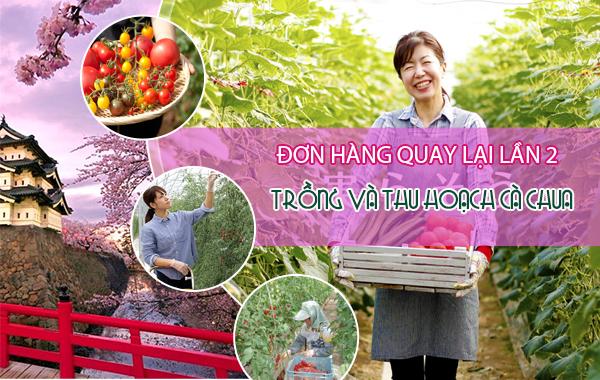 CẦN GẤP: 30 Nam/nữ đơn hàng thu hoạch cà chua quay lại lần 2- PHÍ CỰC THẤP