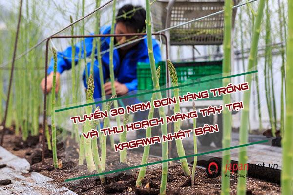 Tuyển gấp 30 Nam đơn hàng nông nghiệp trồng măng tây tại Kagawa- XUẤT CẢNH SỚM