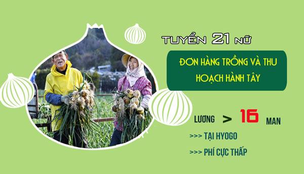 ĐƠN VIP: Tuyển 21 Nữ đơn hàng trồng và thu hoạch hành tây tại Hyogo, làm thêm > 40h/tháng