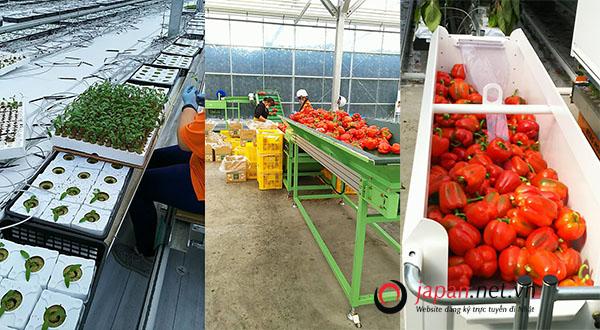 [NÓNG] Tuyển 30 Nam/nữ đi Nhật lần 2 đơn hàng trồng rau nhà kính LƯƠNG CAO