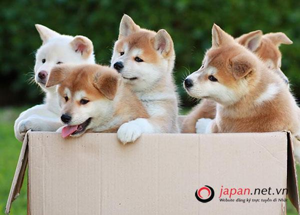 Chó Akita, loài chó biểu tượng của Hoàng gia Nhật Bản