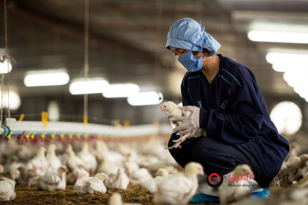 Tuyển GẤP 9 Kỹ sư thú y làm việc tại Hokkaido, Nhật Bản- PHÍ THẤP, LƯƠNG CAO