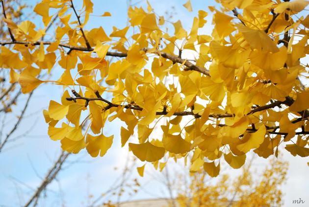 Kết quả hình ảnh cho cây lá vàng nhật