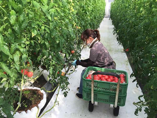 XKLĐ Nhật tháng 05/2019: đơn hàng trồng cà chua tại Tokushima lương cao