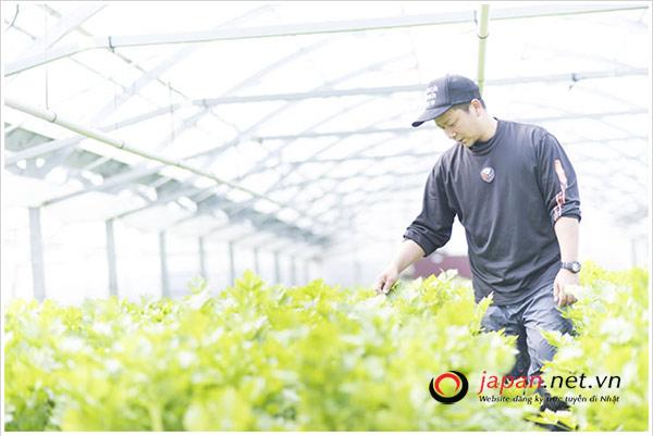 ĐƠN VIP: Tuyển 60 Nam đơn hàng trồng rau nhà kính tại Ibaraki, tăng ca rất nhiều